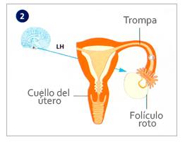 Parte media del ciclo