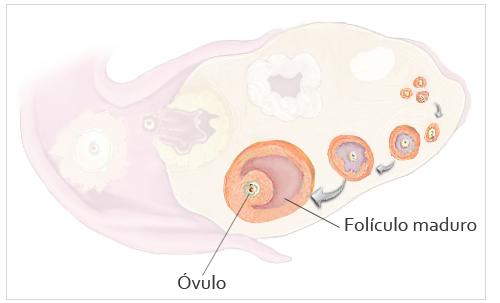 14cd360b6 Desarrollo del feto en las semanas 1 y 2  El cuerpo listo para