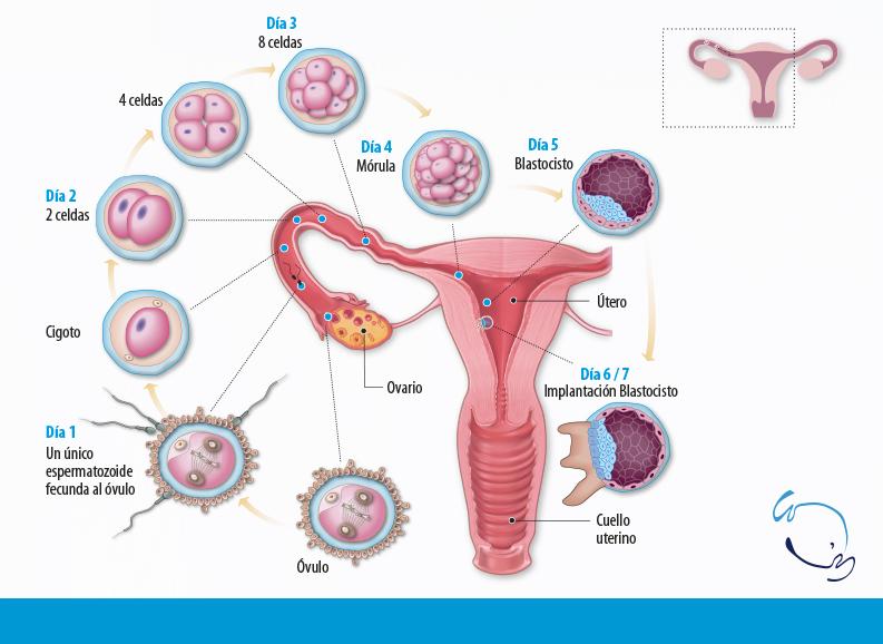 Calendario Fertil.Calculadora De La Ovulacion Y Dias Fertiles De La Mujer