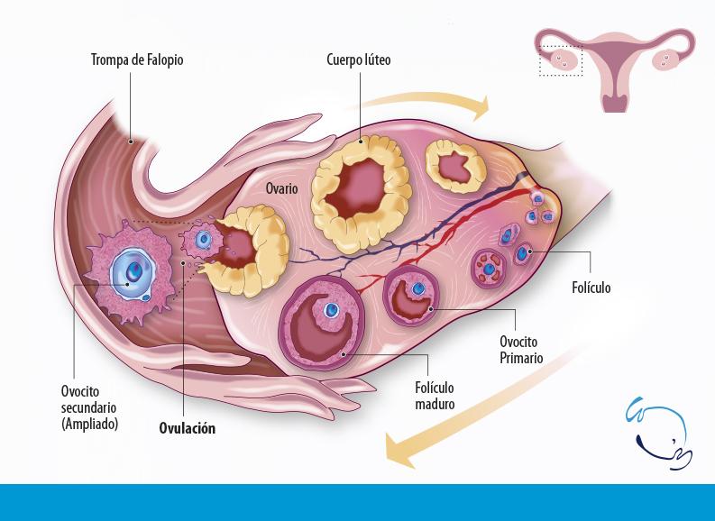 Dias Fertiles Mujer Calendario.Calculadora De La Ovulacion Y Dias Fertiles De La Mujer